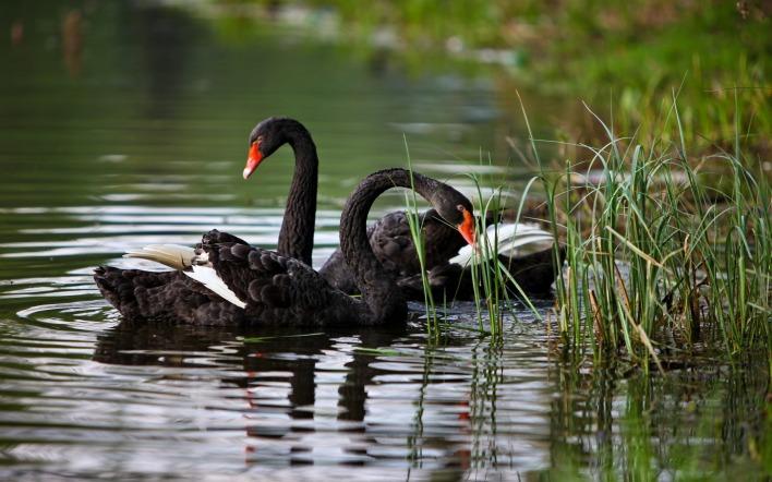 Картинка черные лебеди