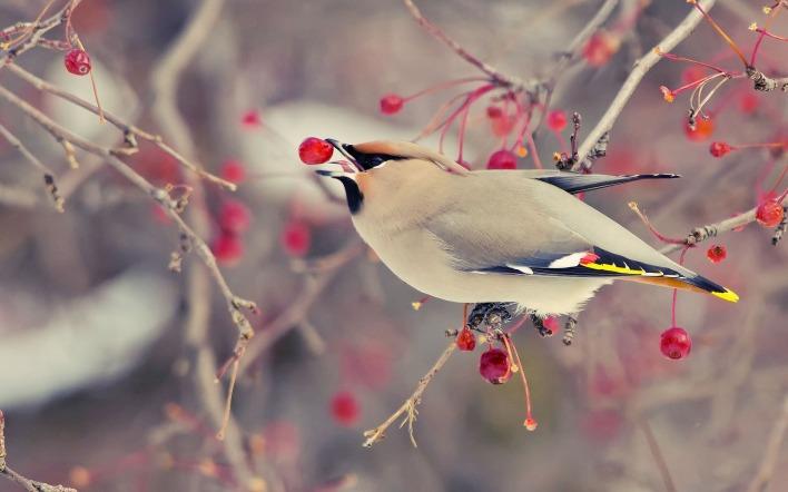 Обои для рабочего стола райские птицы