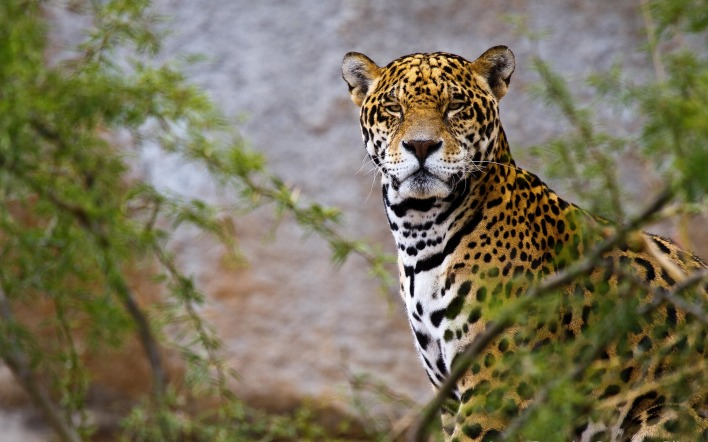 природа животные ягуар nature animals Jaguar