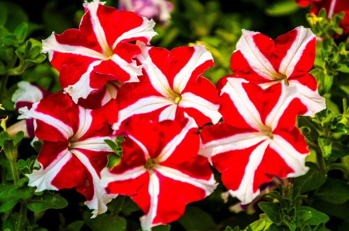 Красно-белые цветы
