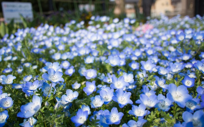 Цветок синие цветы клумба