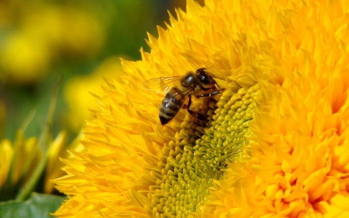 Пчела находит цветок
