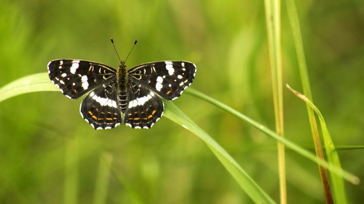 природа животные насекомое бабочка трава макро