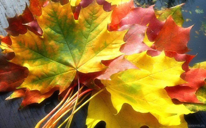 Кленовые листья, осень