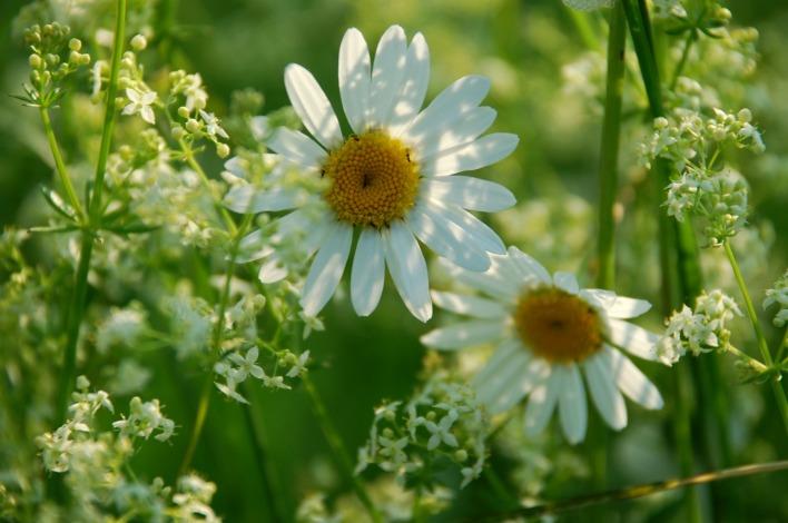 Цветы луговые картинки