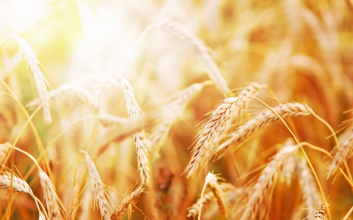 природа пшеница nature wheat