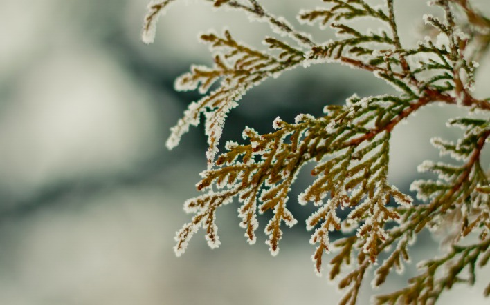природа ветка зима снег ель nature branch winter snow spruce
