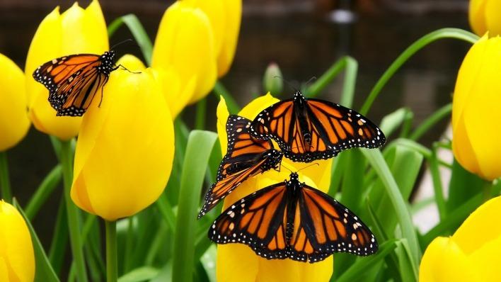 природа желтые тюльпаны цветы бабочки насекомые животные nature yellow tulips flowers butterfly insects animals