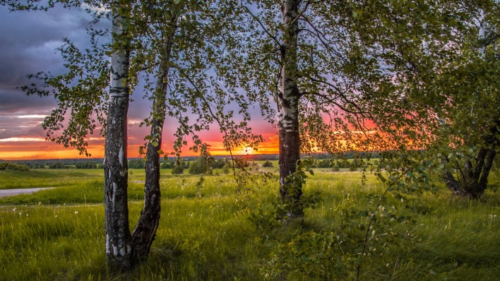 березы закат birch sunset