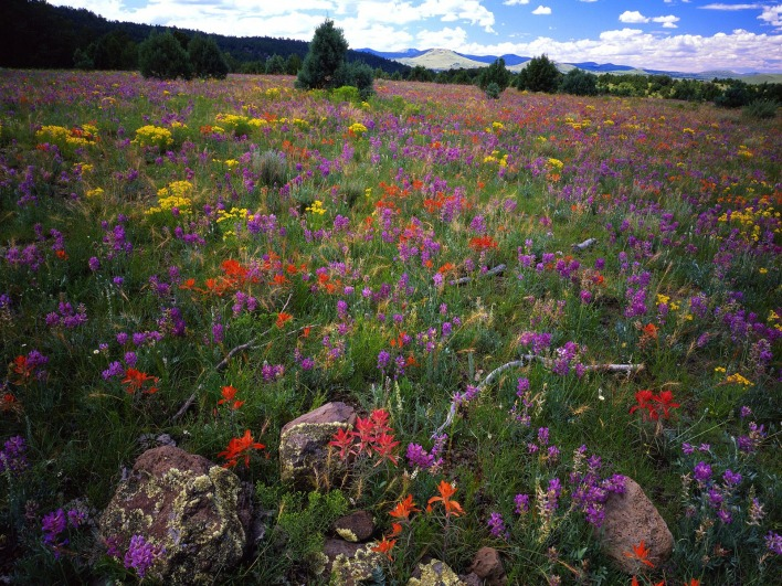 Field of Locoweed, Paintbrush and Gold Flower, Apache-Sitgreaves National Forest, Arizona