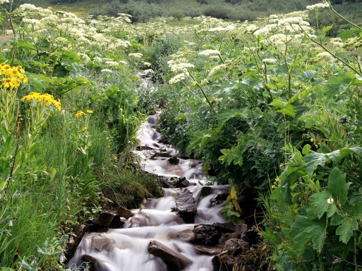 Wildflowers Border a Mountain Stream, White River National Forest, Colorado