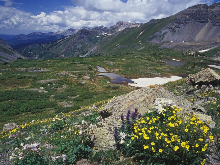 Snow Cinquefoil and Colorado Columbine, Mount Sneffels Wilderness, Colorado