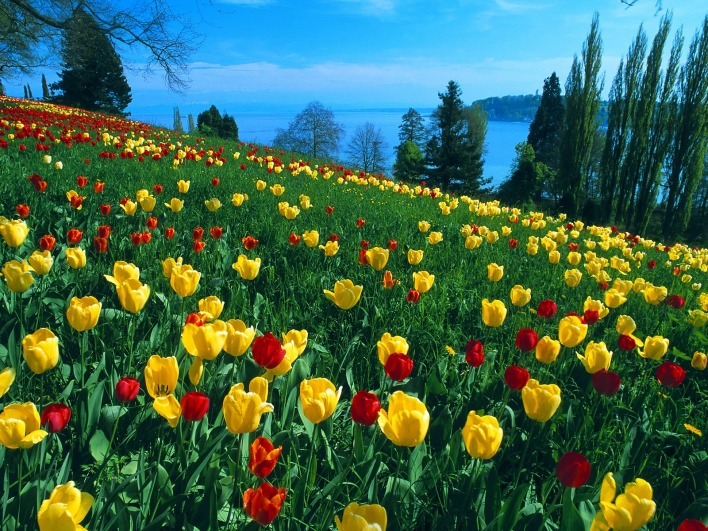 Field of Tulips, Island of Mainau, Germany