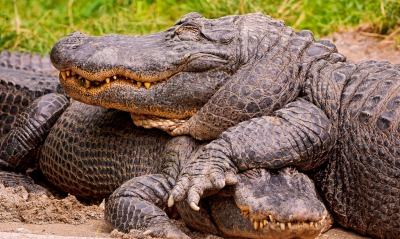 природа животные аллигатор nature animals alligator