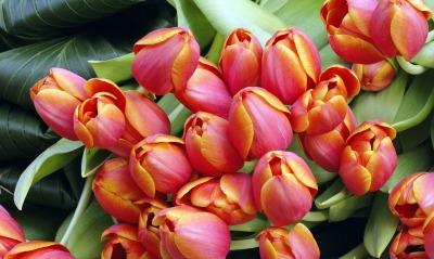 тюльпаны бутоны весна