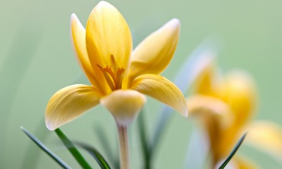 цветы тычинки лепестки
