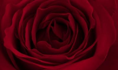 роза лепестки бутон