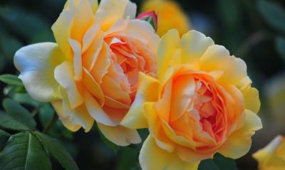 желтые розы лепестки бутоны