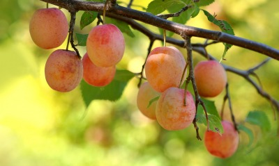фрукты дерево ветка