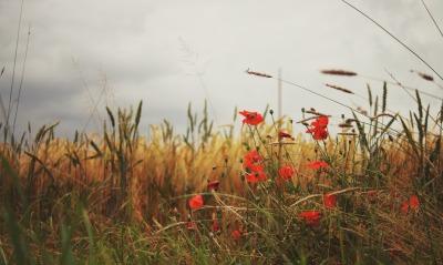 маки поле трава