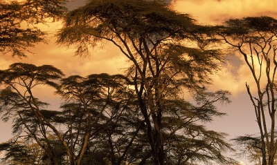 Fever Trees at Sunset, Africa