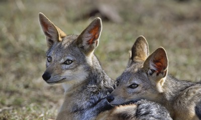 Young Black-Backed Jackals, Masai Mara, Kenya, Africa